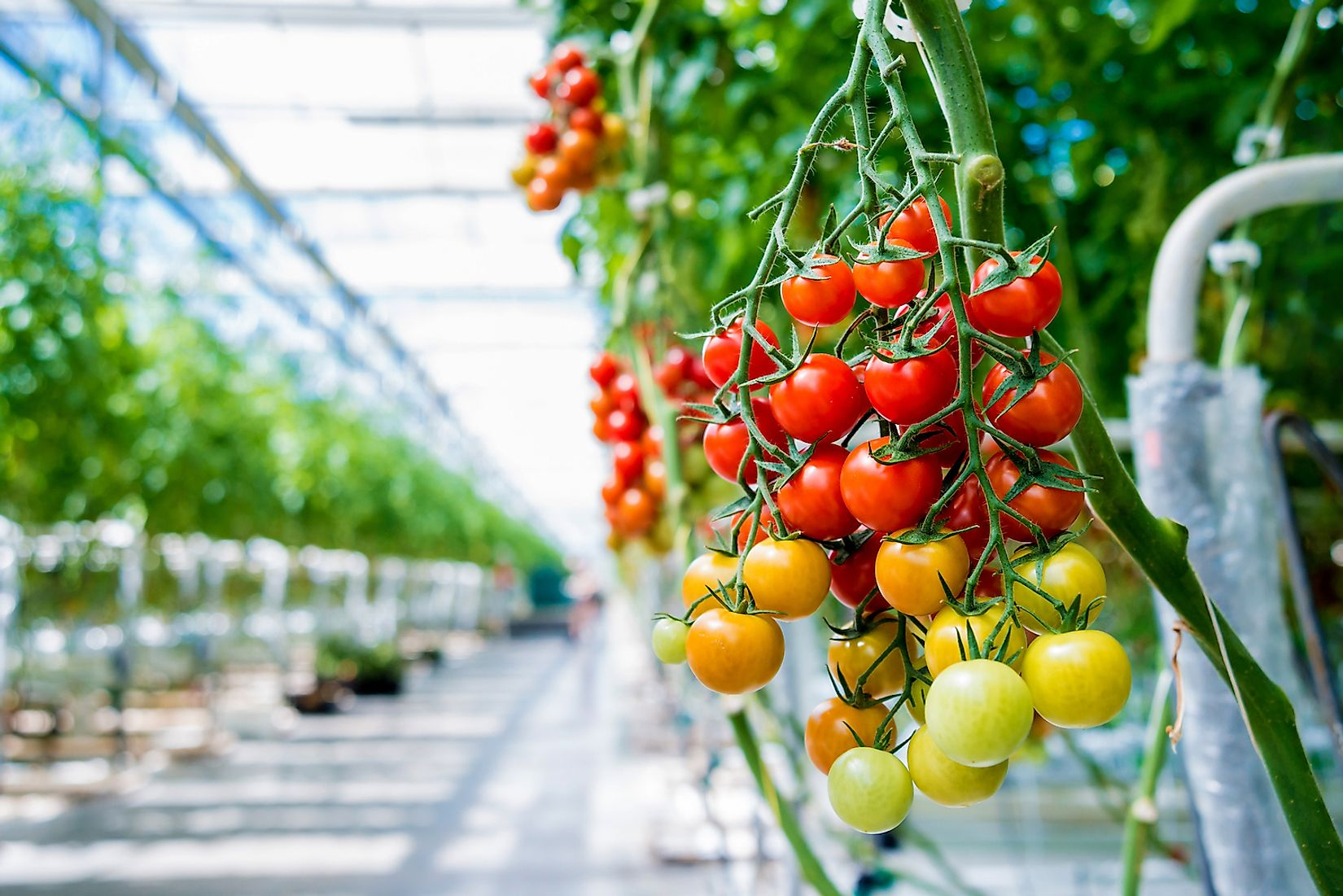 Tomatoes grown in a greenhouse. Image credit: Roman Zaiets/Shutterstock.com