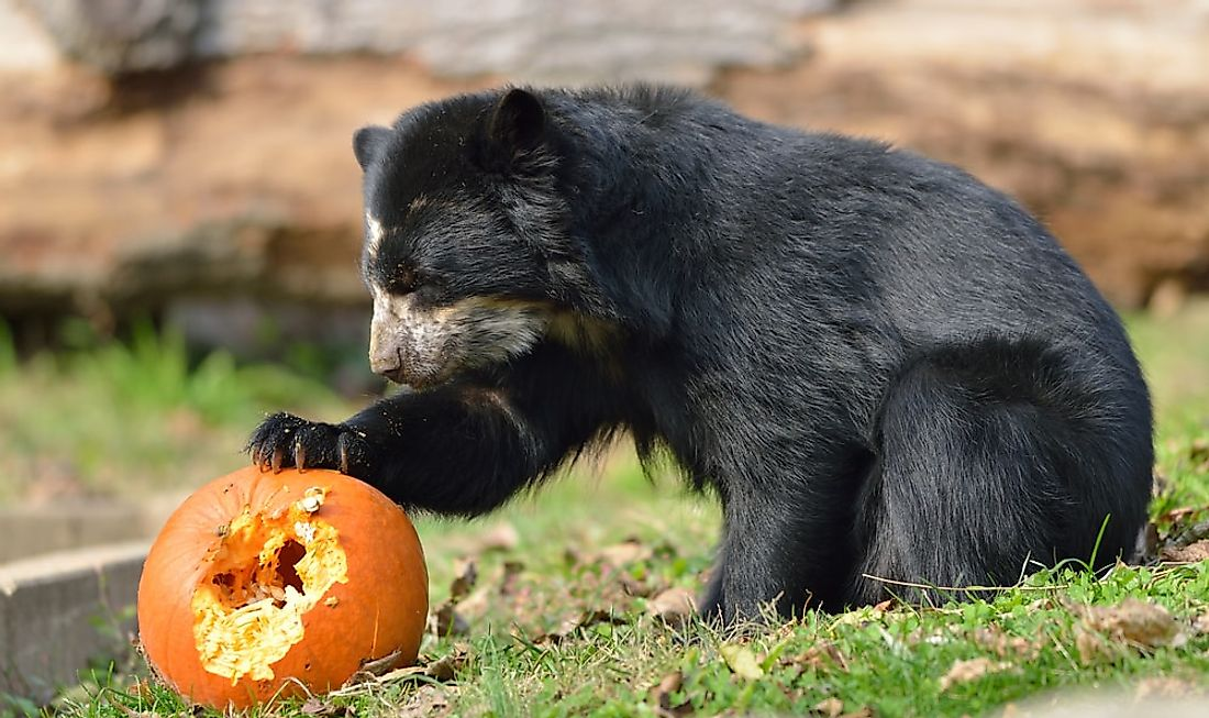 A spectacled bear eating a pumpkin.