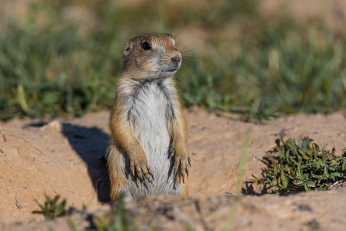Black-tailed prairie dogs are a thriving species today, easily distinguishable from other prairie dogs by the dark ends of their tails.