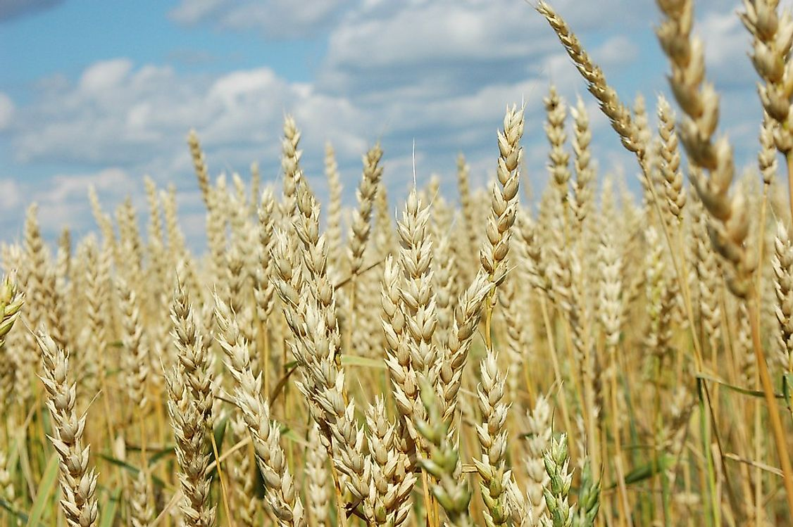 One of Turkmenistan's most valuable natural resources is wheat.