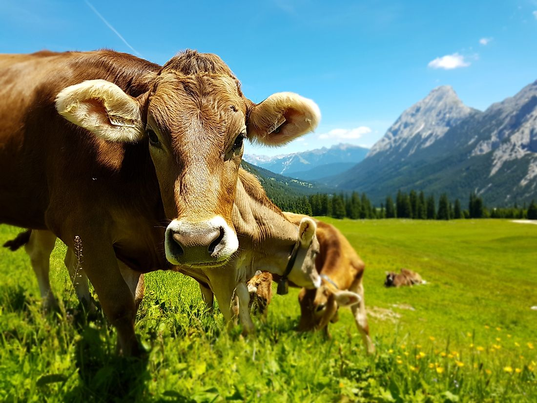 Cattle farming is an important economic activity in Austria.