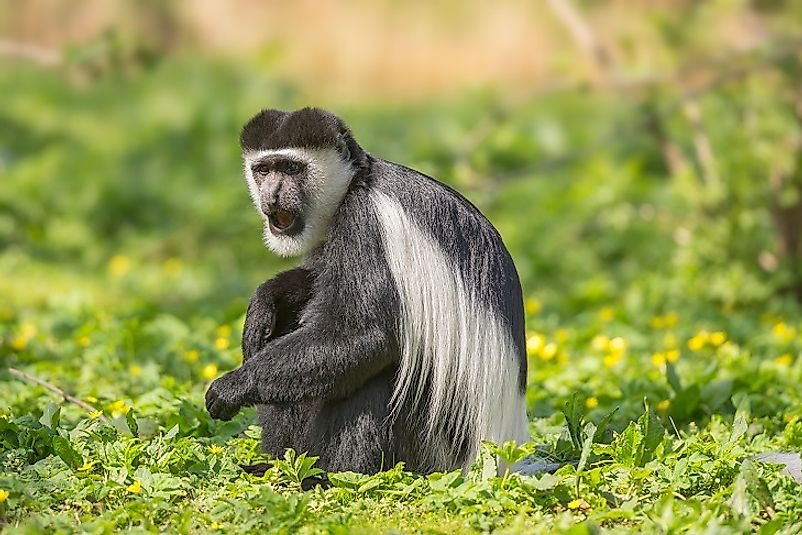 A black-and-white colobus monkey (Mantled guereza) in a savanna-woodlands transition zone in southwestern Chad.