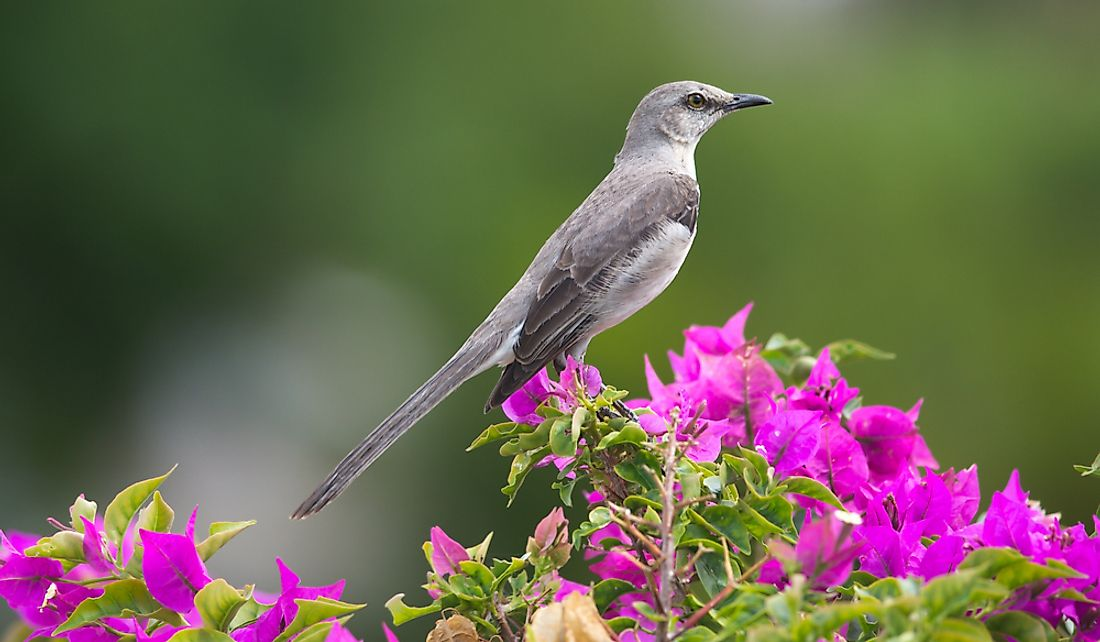 The northern mockingbird has impressive vocal skills.