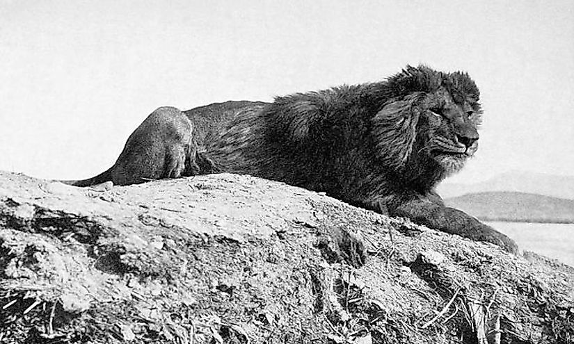 A Barbary lion from Algeria, 1893.