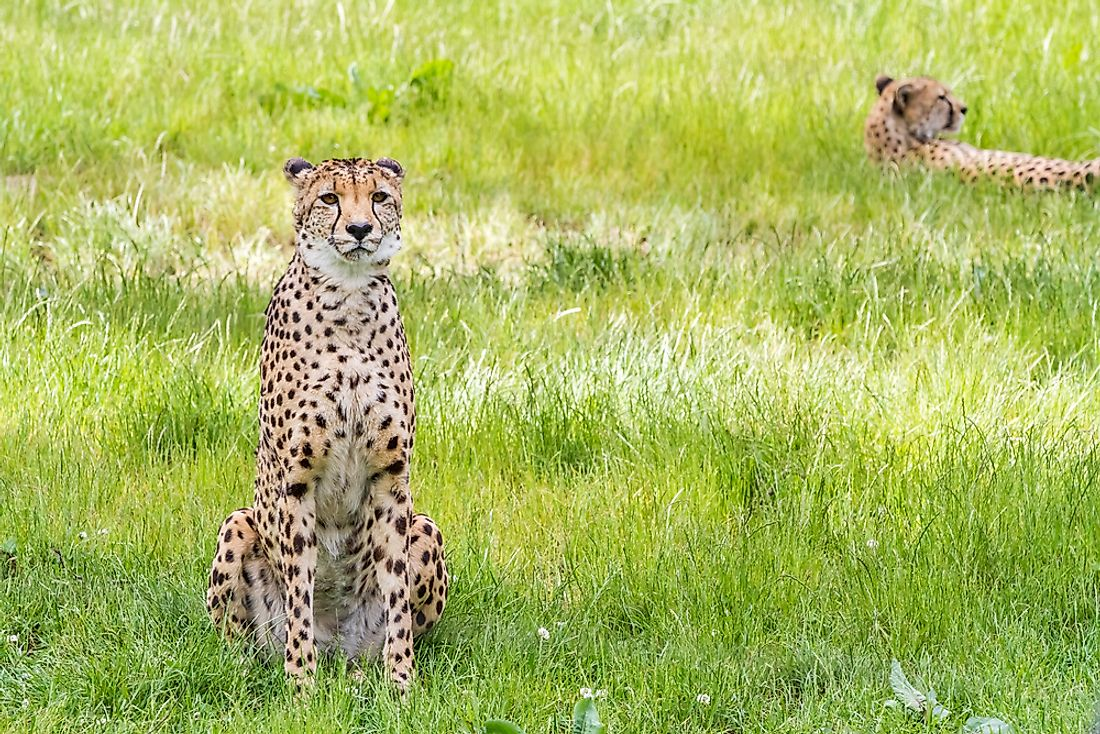 Asiatic cheetahs sitting in the grass.
