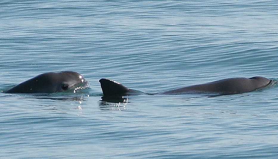 A pair of elusive Vaquita porpoises emerge from the water off the coast of Baja California, Mexico.
