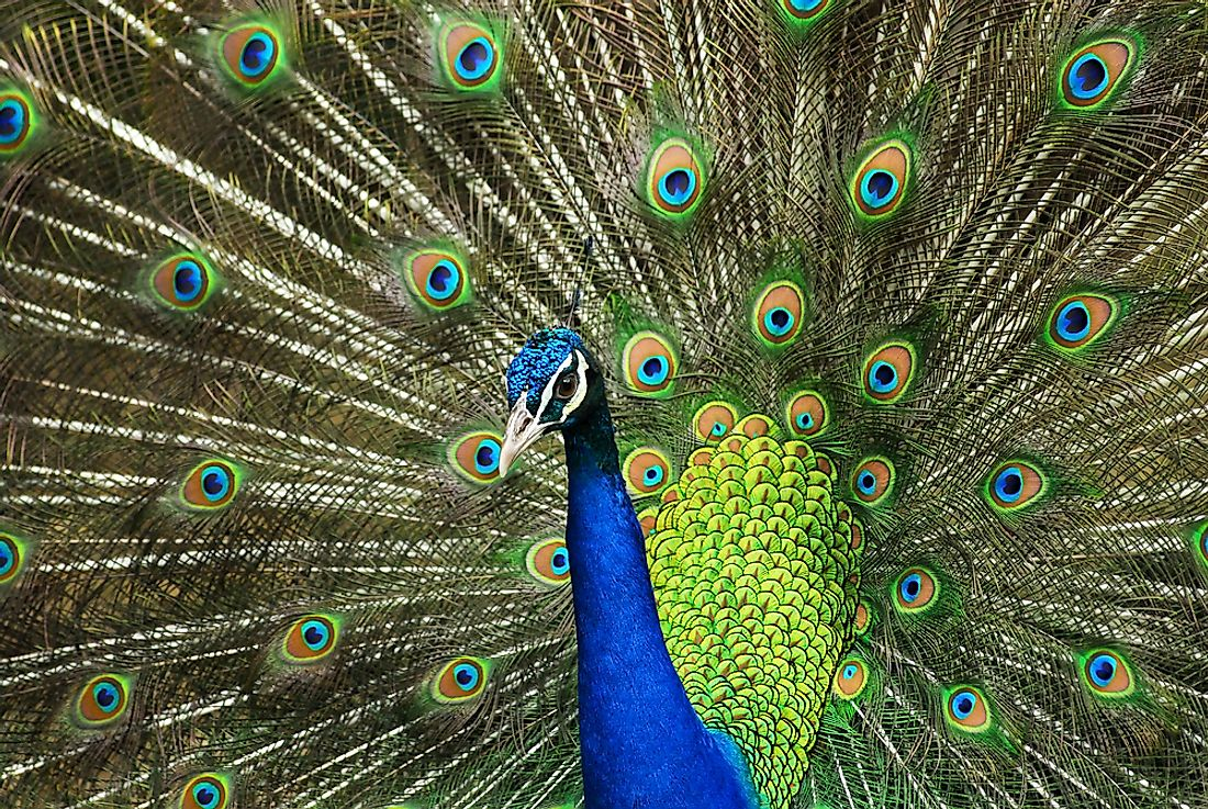 An Indian peafowl, the national bird of India.