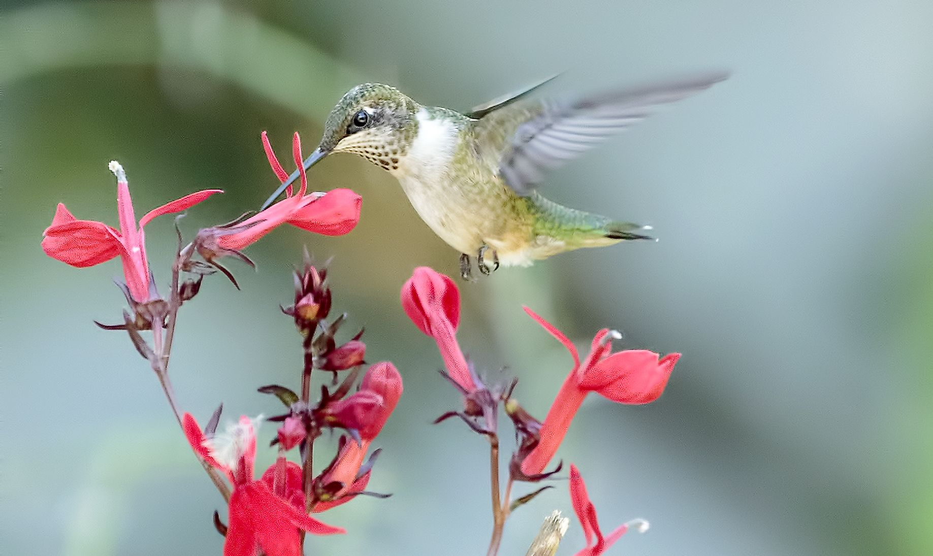 Hummingbirds especially prefer to dine upon flower nectar. Members of the Hummingbird Family list among the smallest birds in the world.