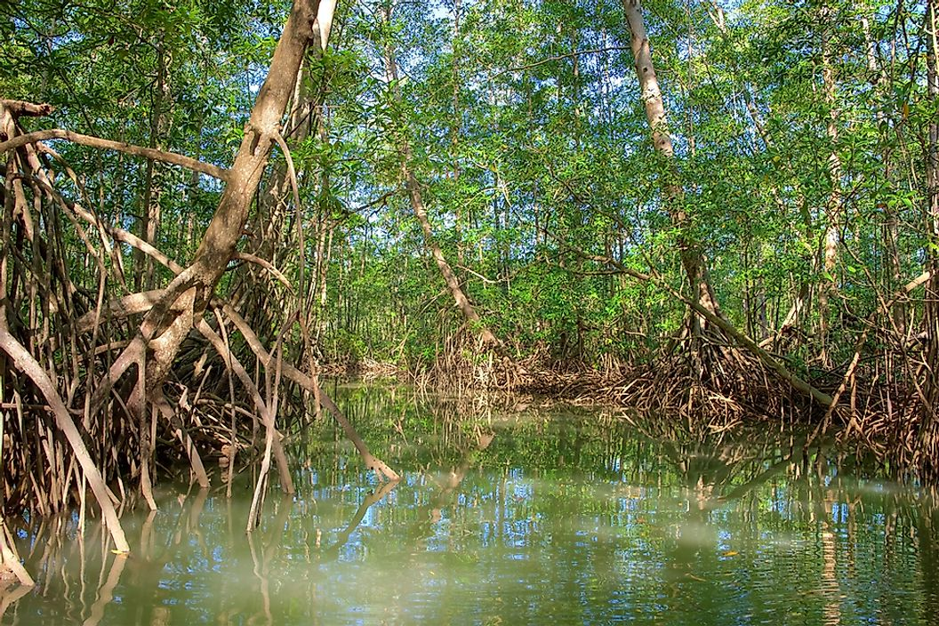 Mangrove trees in Costa Rica's Osa Peninsula.