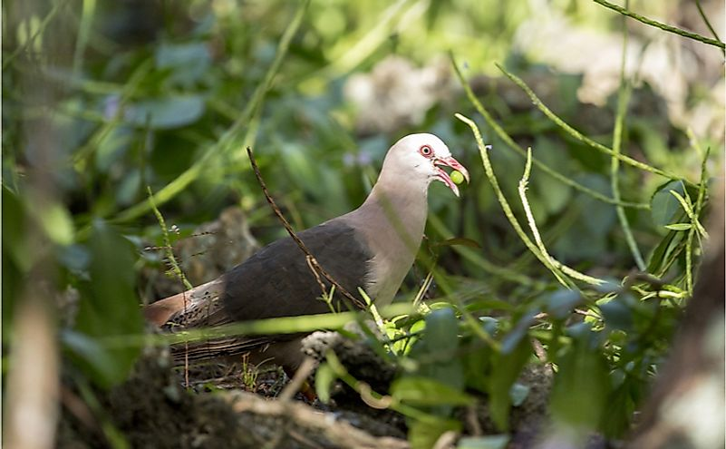 Extremely rare Pink pigeon (Nesoenas mayeri), foraging on the woodland floor in Mauritius, with a berry in its beak.