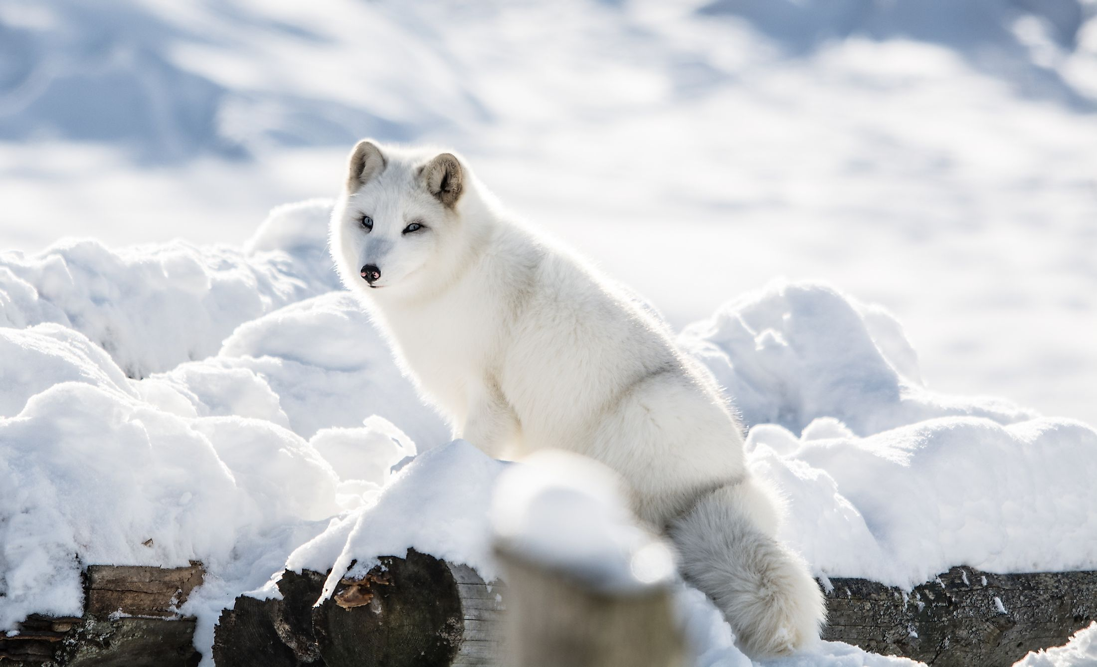 Arctic Fox on a Hill at Omega Park, Montebello, Quebec, Canada. Image credit: Fitawoman/Shutterstock.com