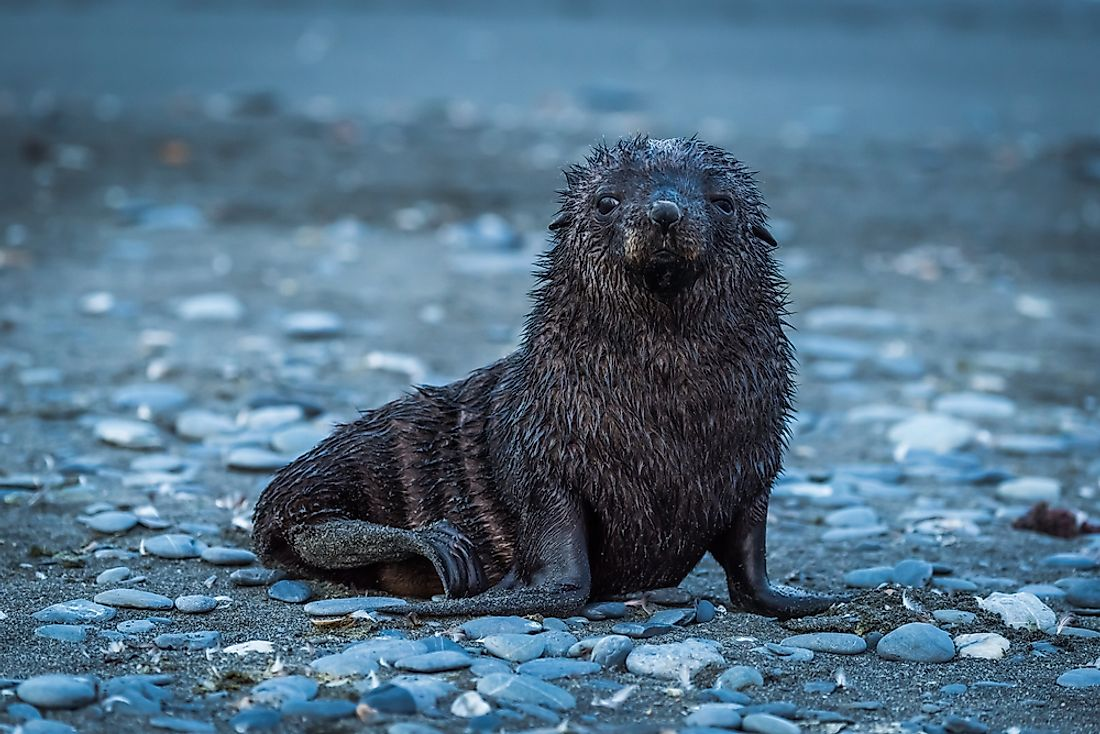 "Seals are more commonly known as their common name of ""seal""."