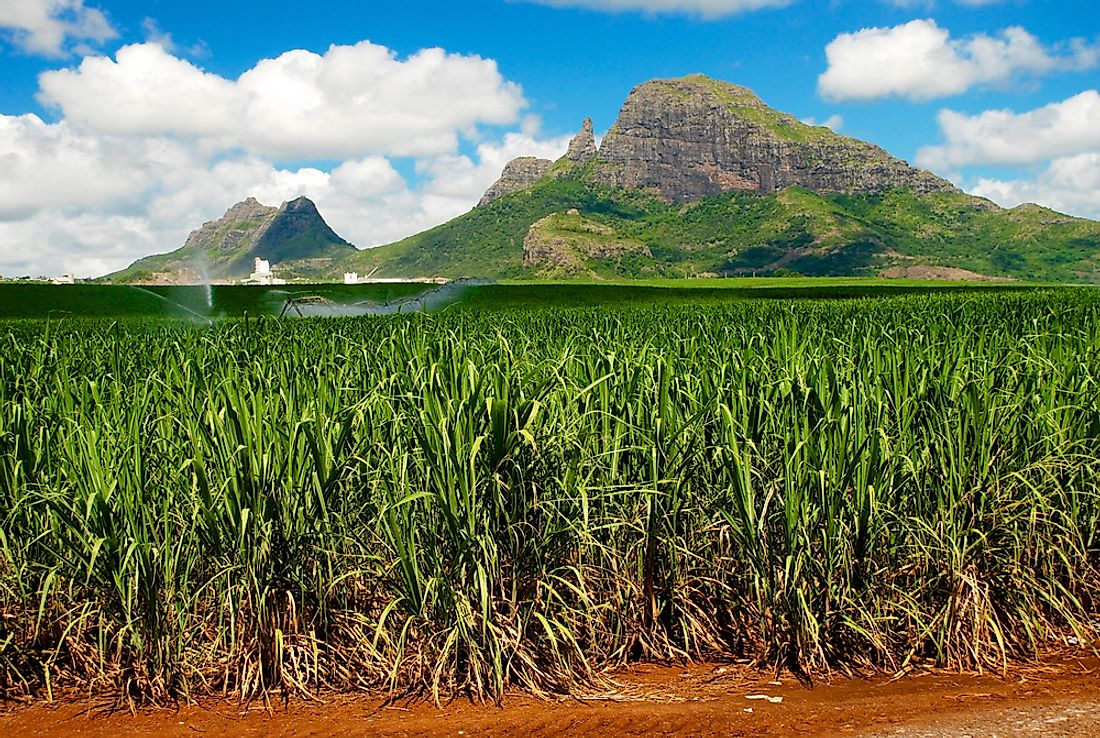 Sugarcane is the most important crop grown within Mauritius.
