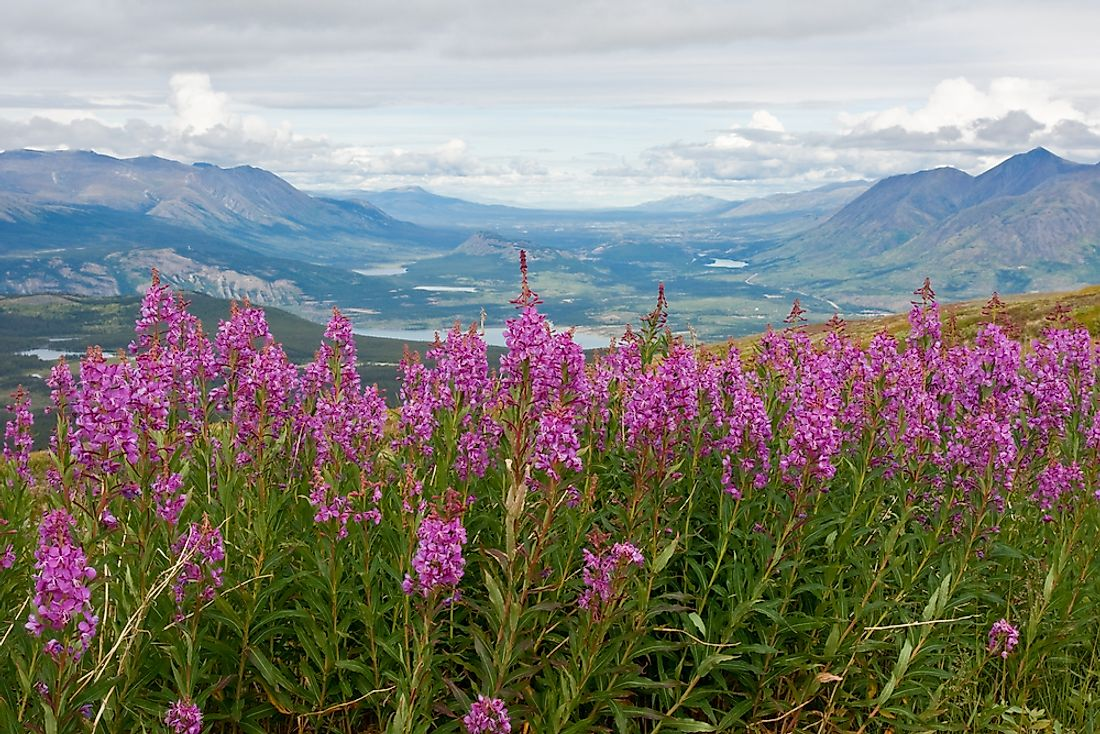 All flowers of the provinces and territories are native to their respective area. Pictured here: fireweed found in Yukon.