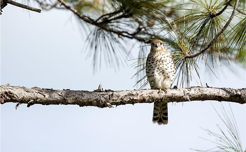 Extremely rare Mauritius Kestrel (Falco puncatatus) perching on a horizontal pine tree branch, facing and watching the camera.