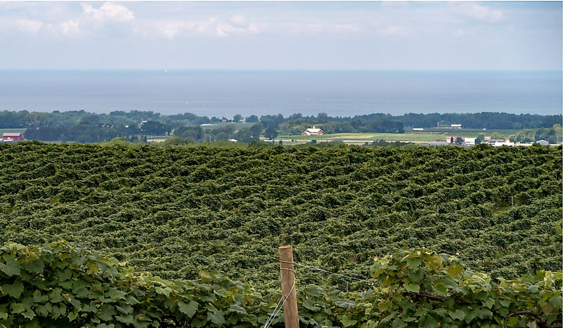 Vineyard along the shores of Lake Eerie in Pennsylvania.