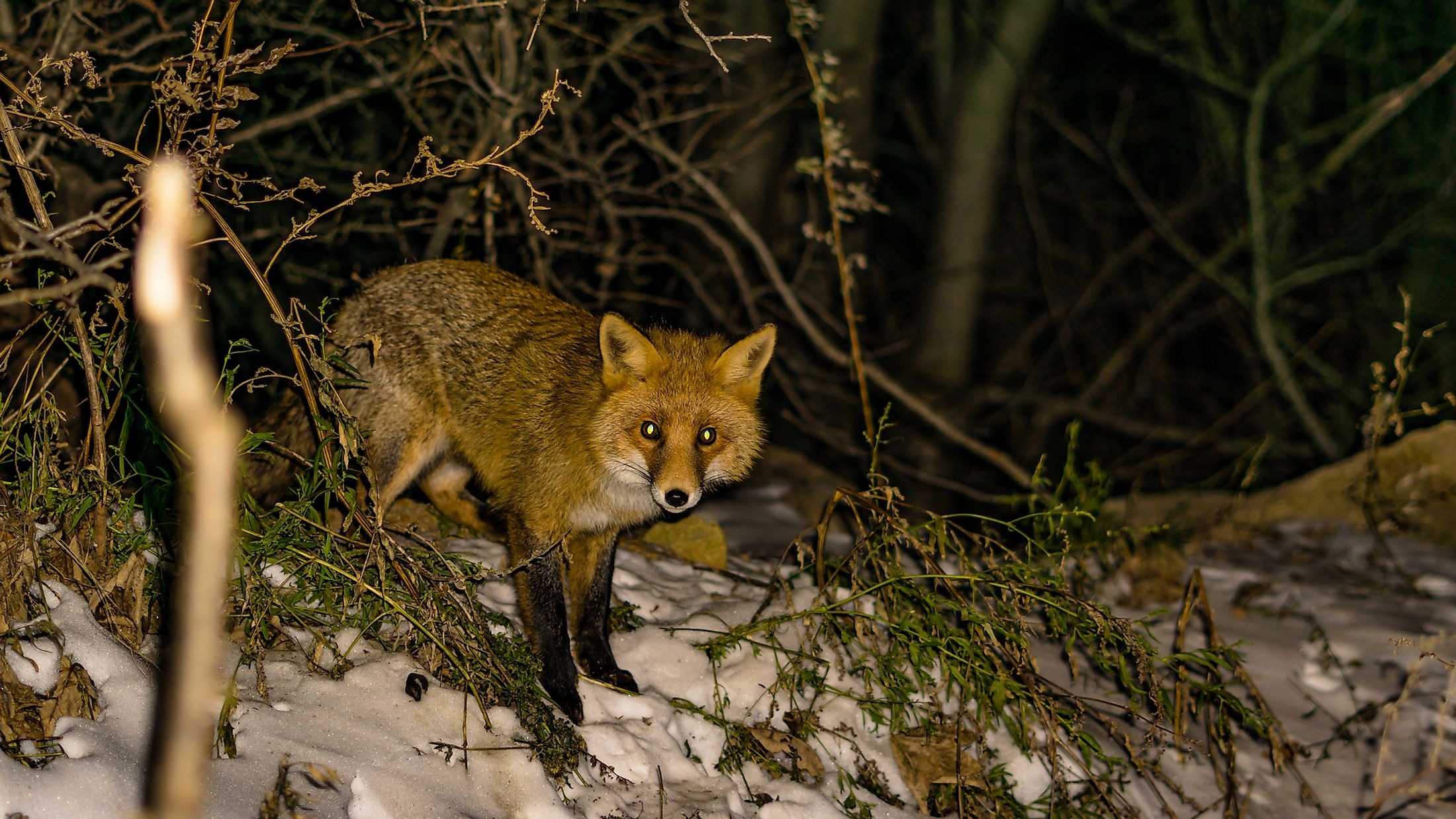 A red fox in a forest at night. Image credit: Boyan Georgiev Georgiev/Shutterstock.com
