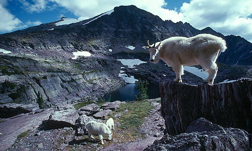 Mountain goats in the Glacier National Park, Montana.