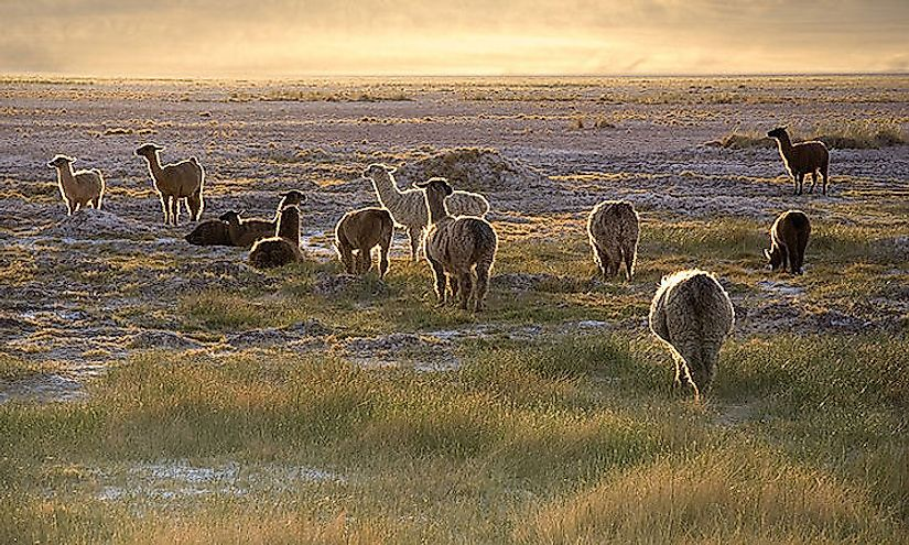 A herd of lamas in the Atacama Desert of South America during sunset.
