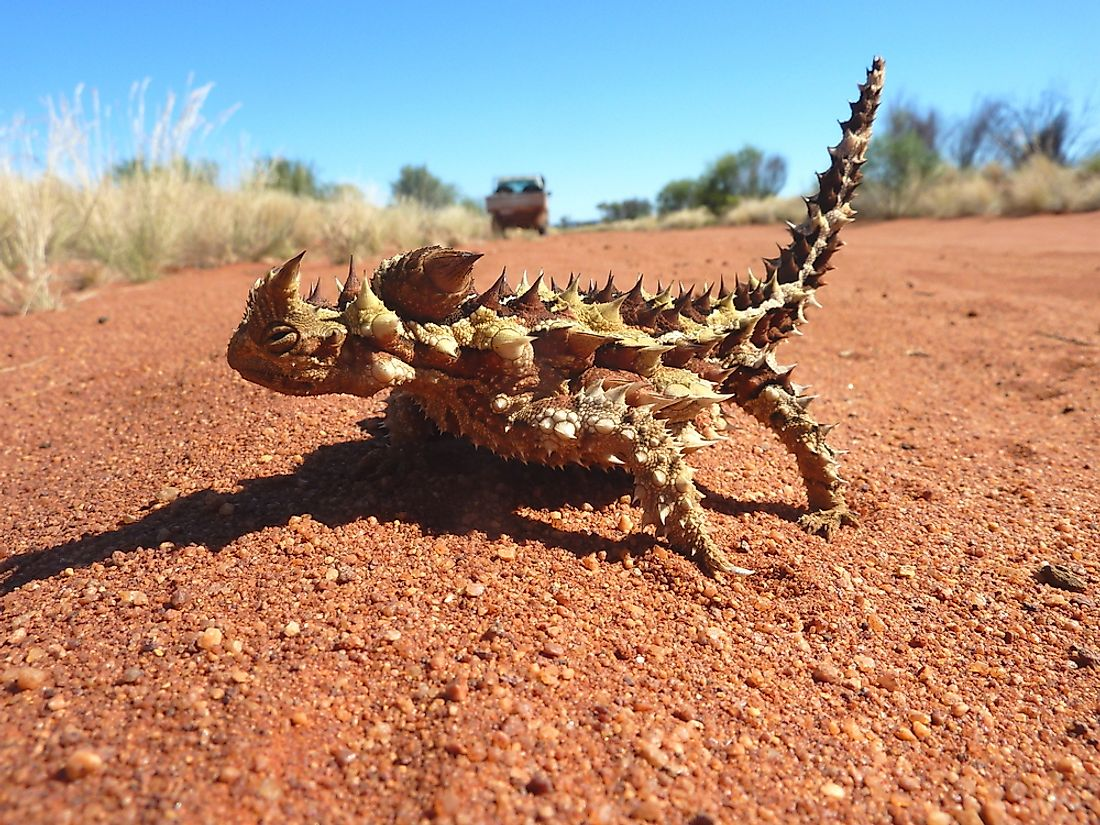 The thorny devil use their large scales to trap water.