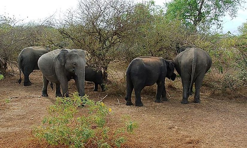A herd of elephants at the Yala National Park in Sri Lanka.