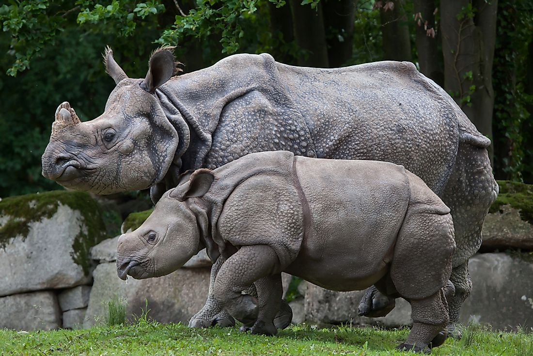 An Indian rhinoceros with its mother.