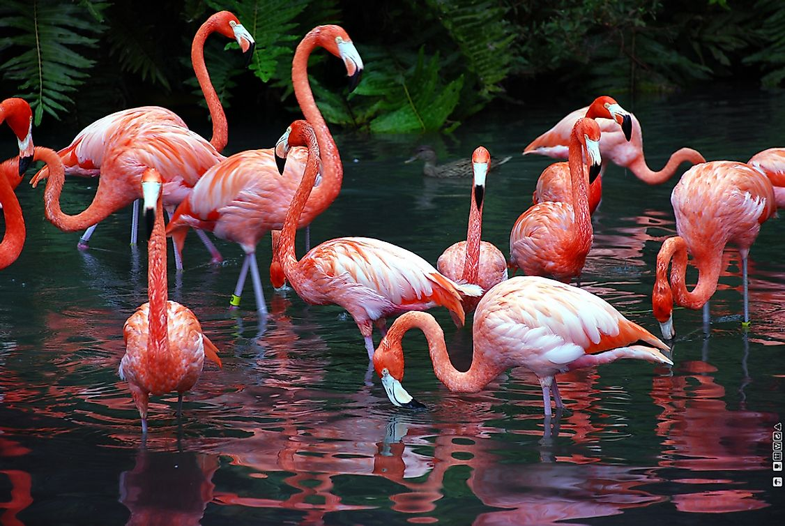 A flock of flamingos wading in the water looking for food.