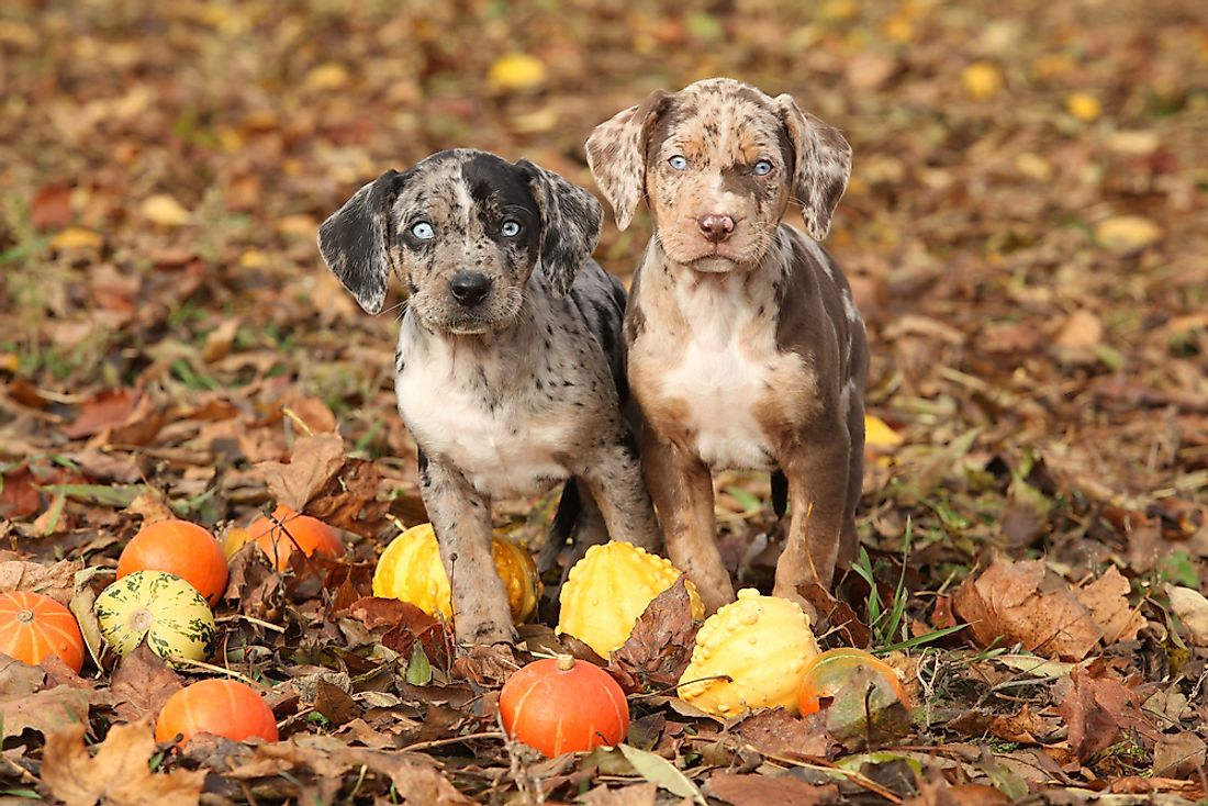 The Louisiana Catahoula Leopard Dog was chosen as the official state dog of Louisiana in 1979.