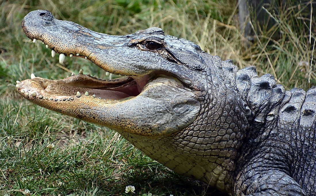 What Is The Difference Between An Alligator And A Crocodile Worldatlas Com