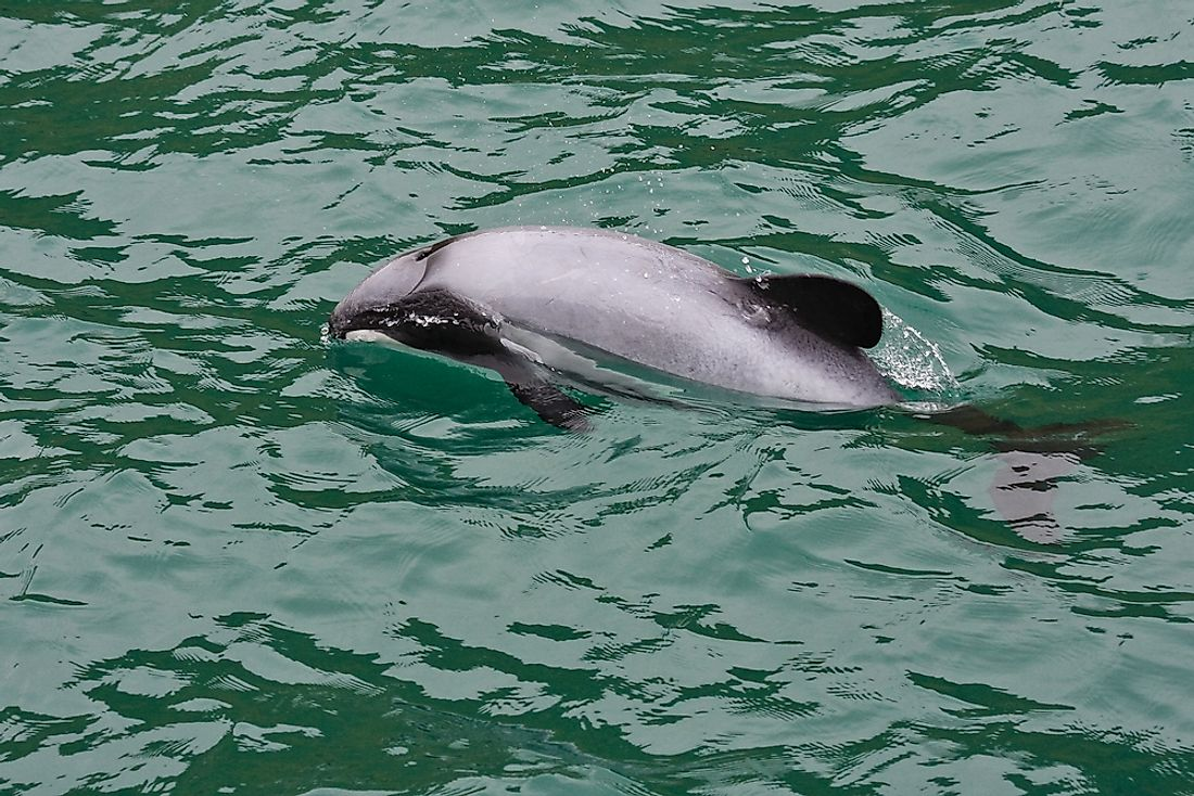 The Hector's dolphin is endangered in New Zealand.