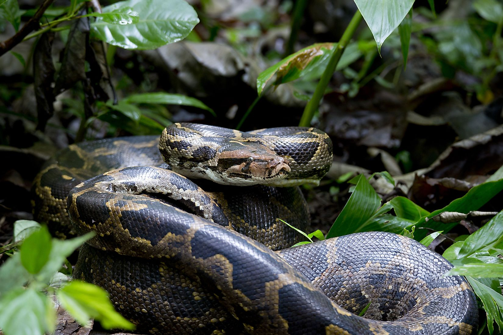 A python in Indian forest. Image credit: Girish HC/Shutterstock.com