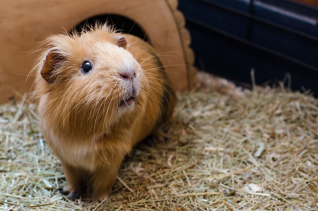 Guinea pigs do not live in the wild.