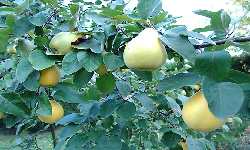 Quinces growing on the tree.