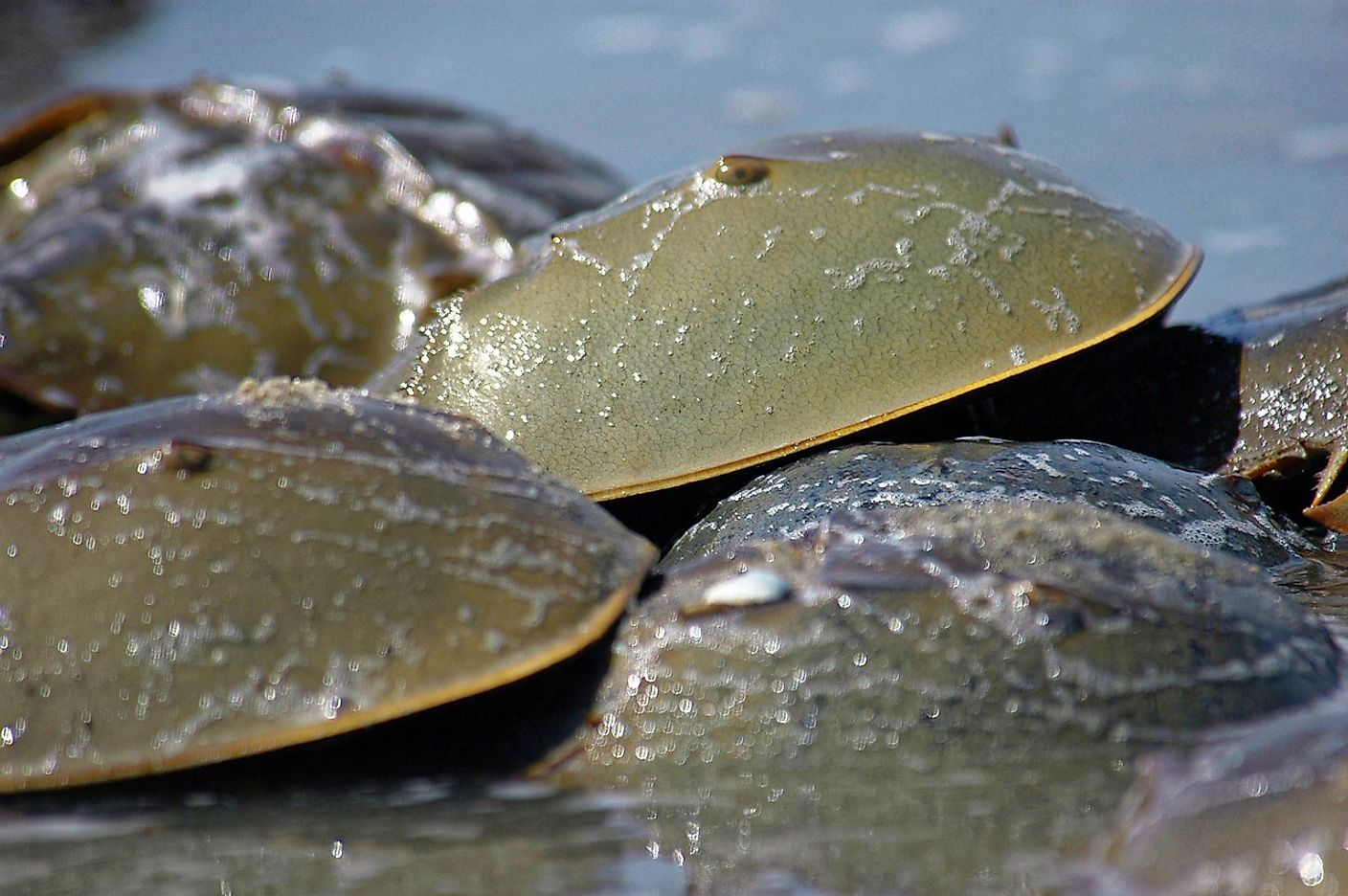 Though they may resemble crabs, Horseshoe Crabs are actually more closely related to ticks, spiders, scorpions, and mites. Photo credit: U.S. Fish and Wildlife Service, Delaware Bay Coastal Project.