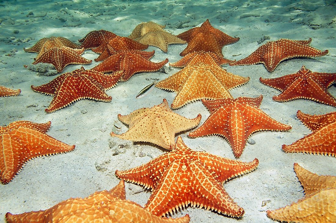 cushion starfish on a sandy ocean floor