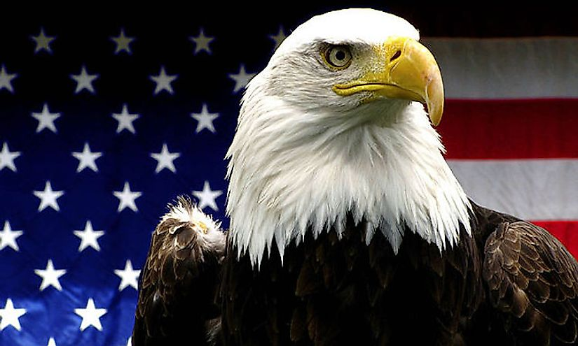 The bald eagle, the National Bird of the US.
