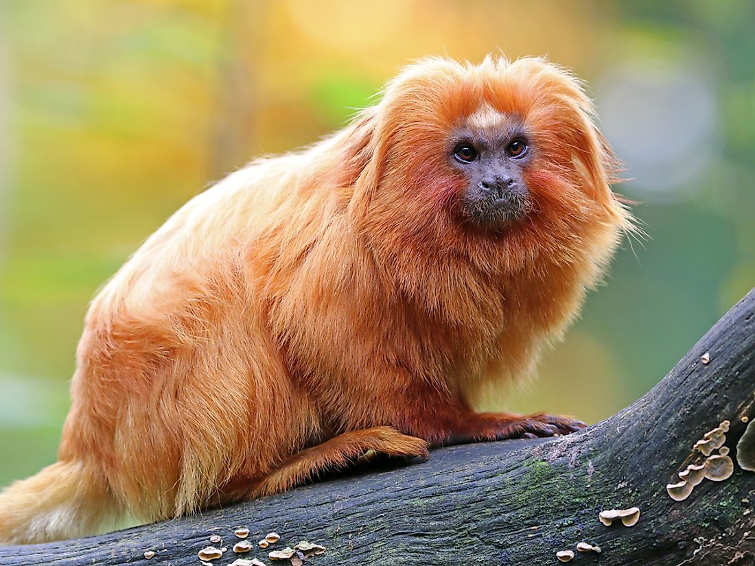 A golden lion tamarin in the Amazon Rainforest in Brazil.