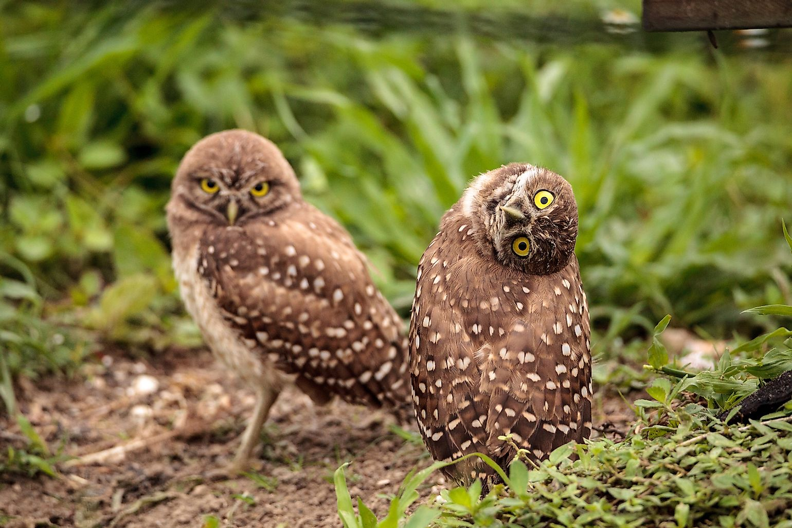 Burrowing owl tilts its head outside its burrow on Marco Island, Florida. Image credit: SunflowerMomma/Shutterstock.com