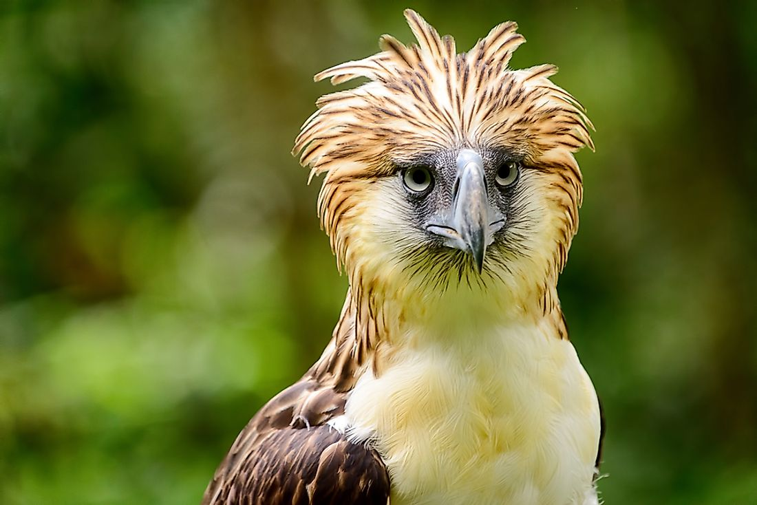 The Philippine eagle is one of the world's largest species of eagle.