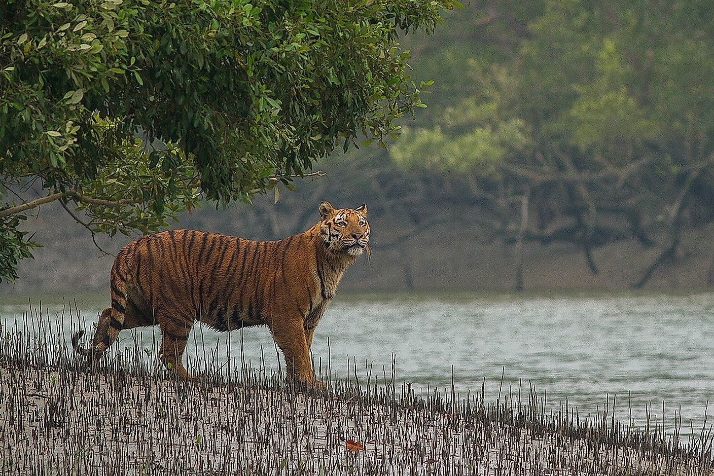 The Sundarbans mangroves of India and Bangladesh is the only mangrove forest known to host a tiger population. Image credit: Soumyajit Nandy/Shutterstock.com