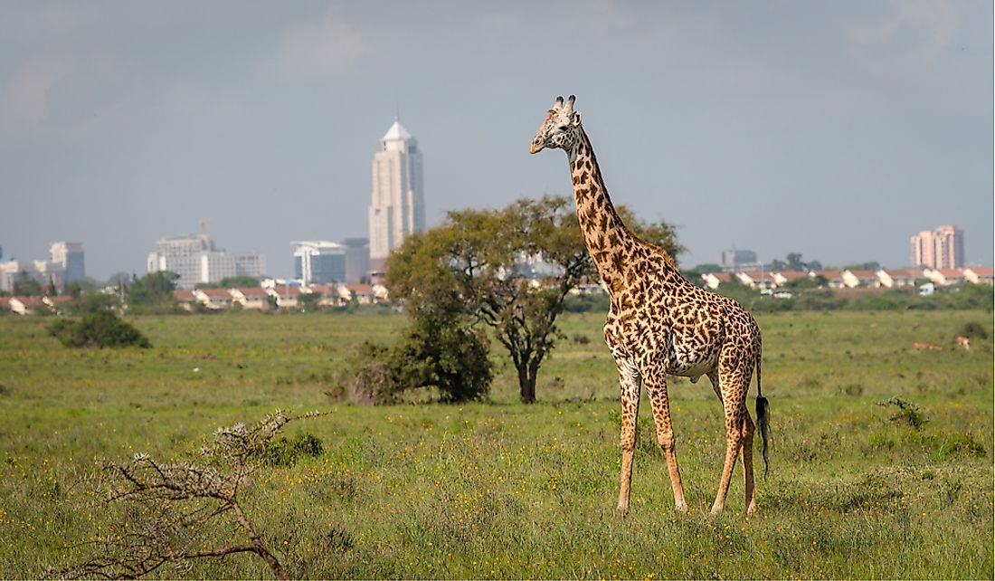 Giraffe in Nairobi National Park with the high-rises of the capital in the background.