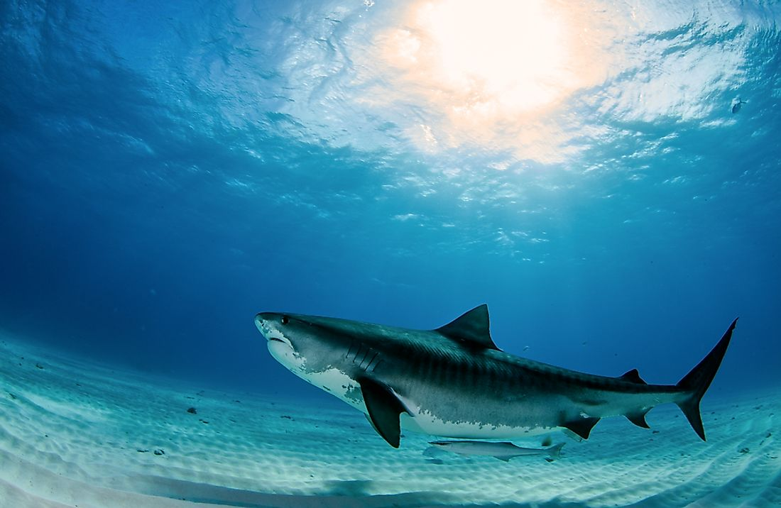 The tiger shark, one of the ocean's largest fish species.