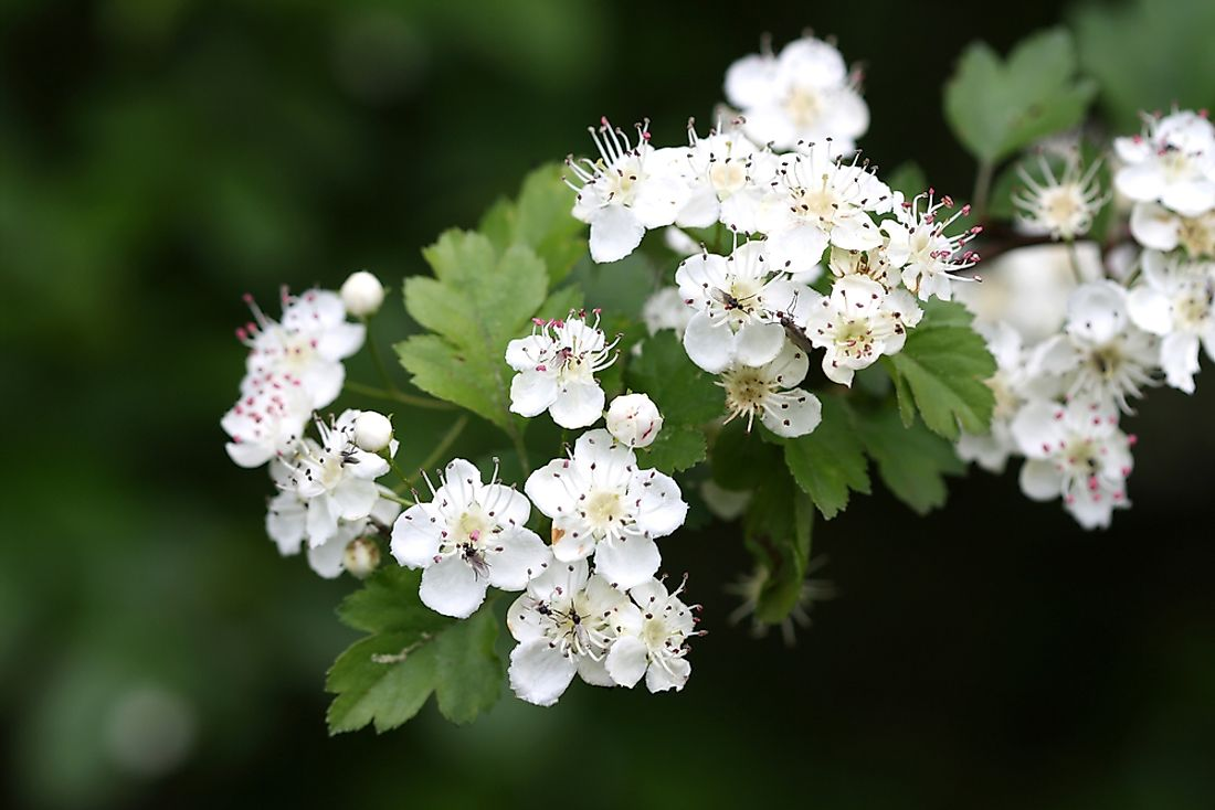 The white blossoms of the hawthorn tree are recognized as the state flower of Missouri.