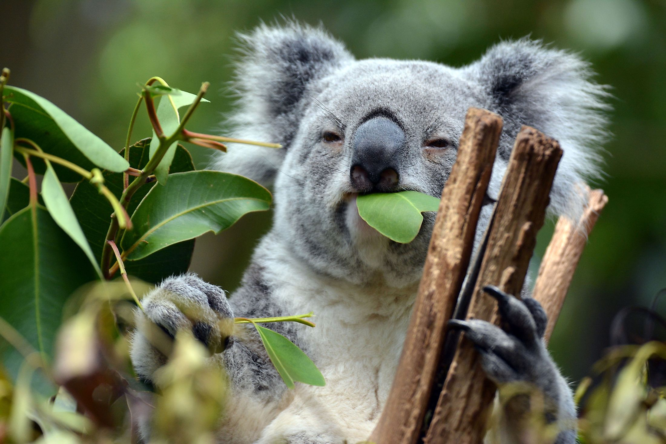A koala feeding on eucalyptus leaves at Lone Pine Koala Sanctuary, Brisbane, Australia. Image credit: Manon van Os/Shutterstock.com