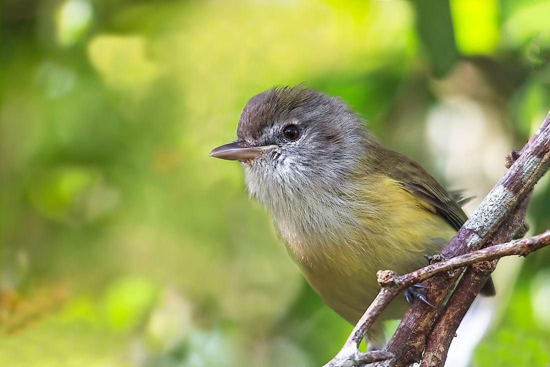 The Puerto Rican vireo mainly forages in thick vegetation closer to the ground.
