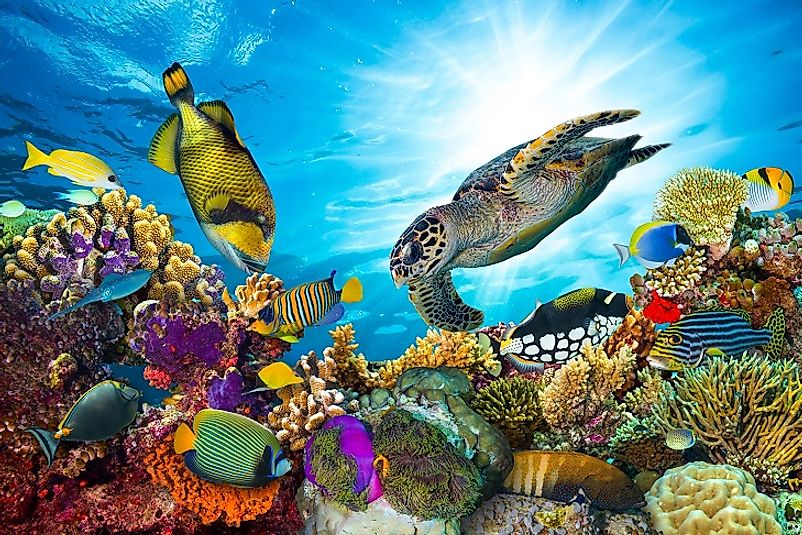 A Hawksbill turtle swims among colorful fish in Great Barrier Reef, the largest coral reef on earth.