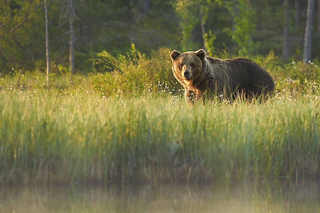 Grizzly bears can be indicators of a healthy ecosystem within certain areas of Canada.