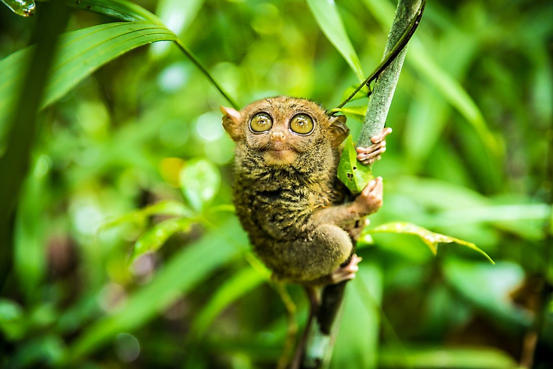 The Philippine tarsier (Carlito syrichta) is a species of tarsier endemic to the Philippines. It is one of the smallest known primates.