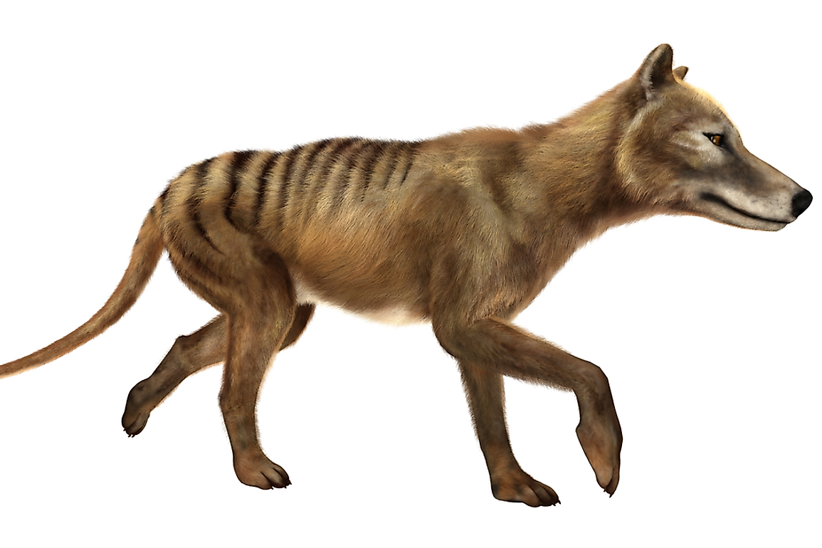 A bounty was placed on the Tasmanian tiger from the early 1830s to 1909.