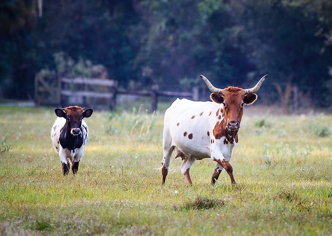 Spanish cattle stocks from the 16th century have been interbred in Florida to develop what is now the breed of Florida Cracker cattle.